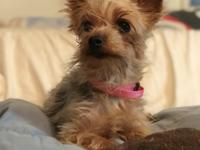 Lilly Peaches aka Lil Peach is a 6 yr old Yorkie. We
