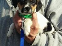 Lilly is a SUPER sweet little Beagle puppy of apprx