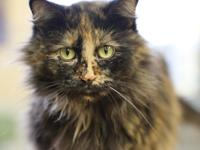 Lilly is a 2 year old long haired tortoiseshell female