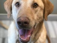This beautiful yellow Labrador retriever is Lilly.