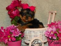 Lilly is 1/2 mini dachshund 1/2 teacup yorkie. She is
