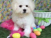 Our Bichon Frise puppies are playful and loves