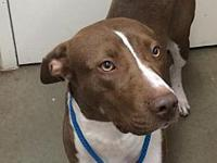 My story Lily is a 2 year old female, Pit Bull Terrier