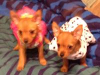 Really sweet chorkie puppy for adoption. Her adult