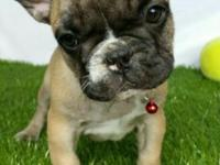 "Beautiful Purebred french bulldog female puppy, ""Lina"""