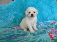 Our Bichon Frise young puppies are adorable as a