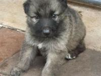 Puppy forma sale calle (786) 356-0519.. Llamar (...