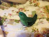 I am rehoming my Lineolated Parakeet. He has to do with