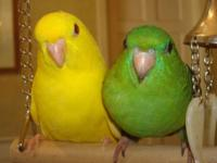 Handfed child lineolated parakeet. Banded, friendly and