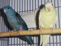 (8) Lineolated Parakeets Average Age Is 5 Years Old.