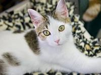 Link's story Handsome & sweet young DSH White with