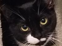 Log # F17-12-12  Linka is a stunning 2 year old tux.