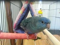Young lineolated parakeet pair for sale or trade.