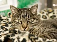 Linus's story Handsome Young Adult DSH Brown Tabby