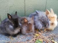 Lion head Bunnies 4 gorgeous babies to choose from,