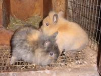 I have a 2 nice litters of lion head bunnies available
