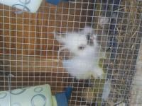 I have 1 buck and 1 doe Lion Head Rabbits for sale. $40