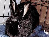 Lionhead - Angelina - Small - Young - Female - Rabbit