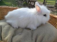I have 3 lionhead babies for sale. They are not
