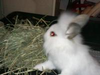 Lionhead doe available ~ only $35. Doe #2 has soft