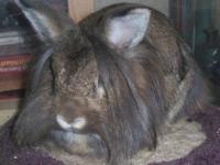Lionhead - Blueberry - Medium - Adult - Female -