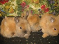 Hello. I am offering my purebred lionhead buck up for
