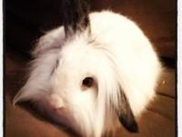 Lionhead - Buffy - Medium - Adult - Female - Rabbit