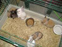 Lionhead Bunnies for sale $20.00 each. For more info