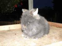 LIONHEAD rabbits. Purebred, great pedigrees and super