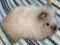 Rabbits available: Bunnies (all lionheads, all