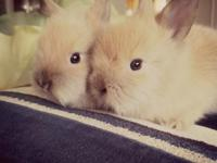 Pure breed lionhead bunnies looking for their forever