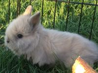 We have 2 Lionhead bunnies ready for their new homes.