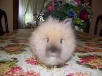 I have 1 Lionhead bunnie available. He is blk. Asking