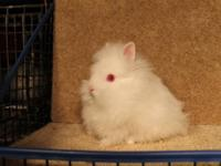 We raise show & brood quality Lionhead, Netherland