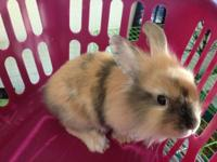 I have three female lionhead bunnies. One is all black