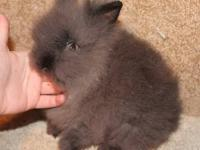 We raise quality Lionheads, Netherland Dwarfs and Dwarf