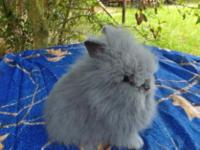 Animal Type: rabbits I have 4 lionhead bucks for sale.