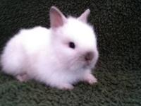 We have new litters of Lionhead bunnies born April 26 &