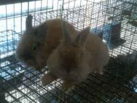 Two male, 3 month old, grey/tan Lionheads, purebred.