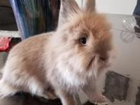 6 months old lionhead buck. Text me at 7472410898 if