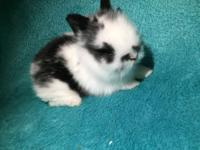 I have 3 litters of lionheads broken blacks,black,