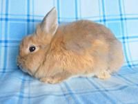 Lionhead - Charlane - Medium - Young - Female - Rabbit