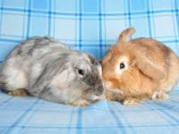 Lionhead - Chester And Kinley - Medium - Young -