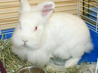 Lionhead - Costello - Medium - Adult - Male - Rabbit