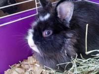 I have a two-year-old Lionhead go available she is a