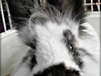 Lionhead - Emo - Medium - Young - Male - Rabbit Emo is