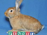 Lionhead - Fennel - Medium - Baby - Male - Rabbit