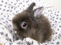 Lionhead - Grizzly - Small - Adult - Male - Rabbit