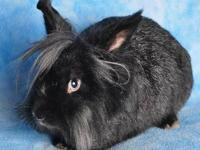 Lionhead - Harry - Medium - Young - Male - Rabbit Harry