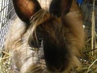 Lionhead - Lacey - Medium - Baby - Female - Rabbit